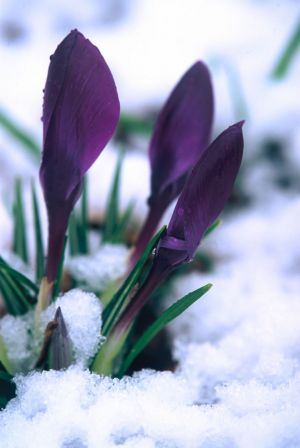 Purple Crocus in Snow III