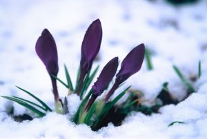Purple Crocus in Snow II