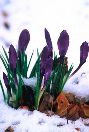Purple Crocus in Snow I
