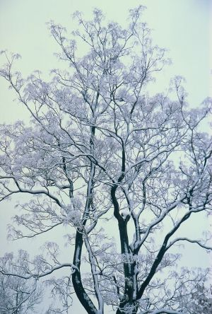Snow on Branches II