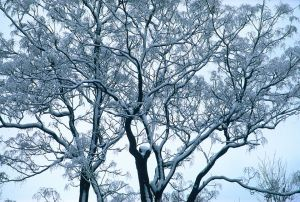 Snow on Branches I