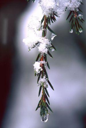 Pine & Ice V