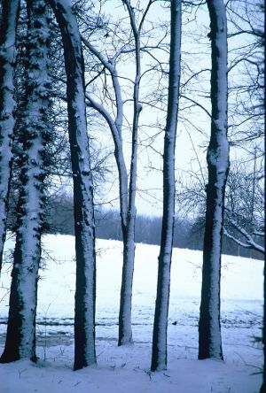 Winter Trees II