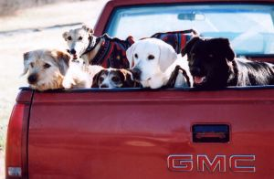 Five Dogs in a Pickup