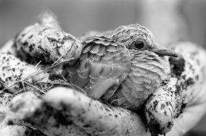 Baby Dove I