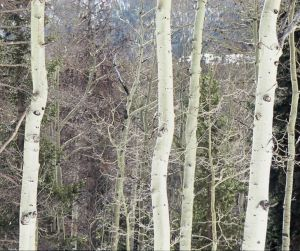 Mountain Birch I