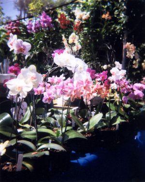 Santa Barbara Orchids
