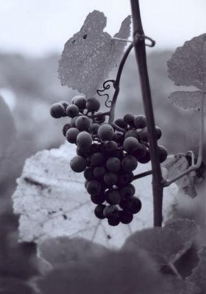 Hermann Grapes I