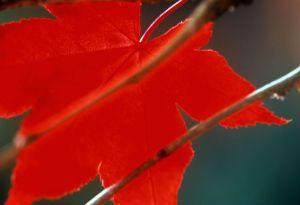 Red leaf I