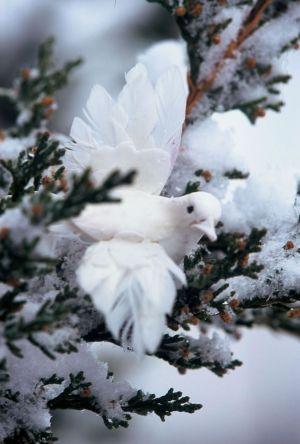 Dove & Snow I