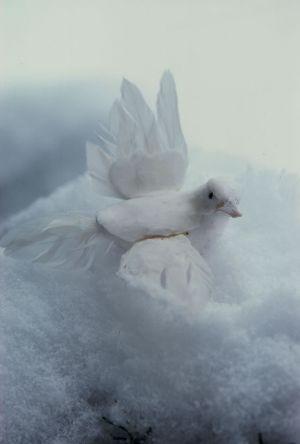 Dove & Snow II