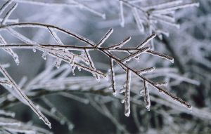 Ice Branches III
