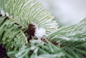 Pine & Ice III