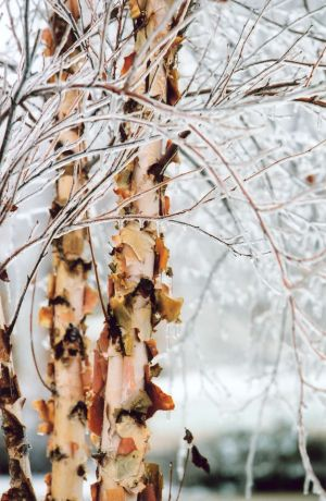 Birch & Ice I