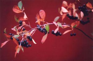 Festive Red Branch