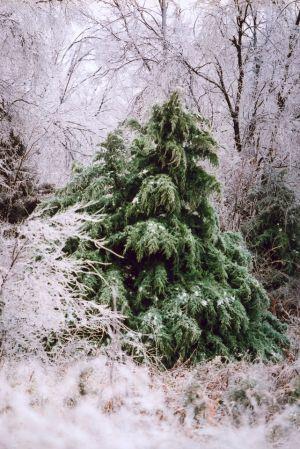 Pines & Snow