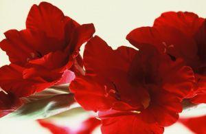 Red Gladiolas I