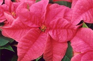 Pink Poinsettia II