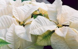 White Poinsettia I