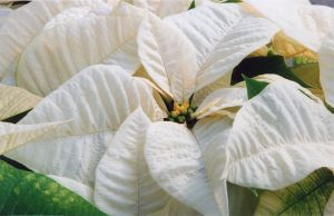 White Poinsettia II