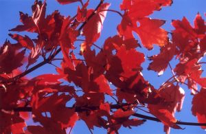 Red Leaves & Blue Sky I