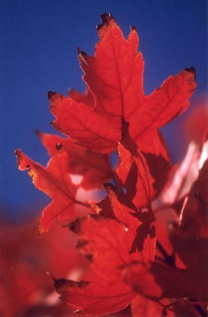 Red Leaves & Blue Sky II