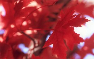 Red Leaves II