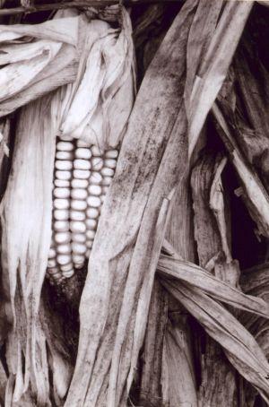 Black and White Corn