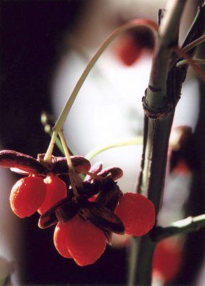 Stem of Autumn Berries